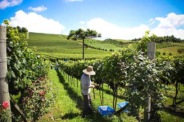 Relatos são de uvas com boa sanidade, cor e graduação dentro da média e até superior aos últimos anos. Foto: Silvia Tonon