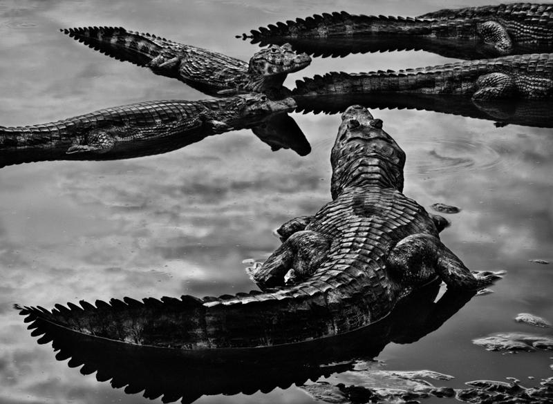 Jacarés-do-Pantanal-(créd.-Sebastião-Salgado)