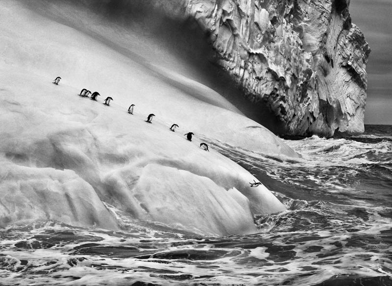 Pinguins-de-Barbicha-(créd.-Sebastião-Salgado)