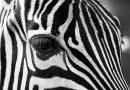 Depois dos unicórnios, as zebras…